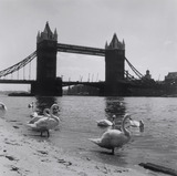 Swans on Tower Beach 1952