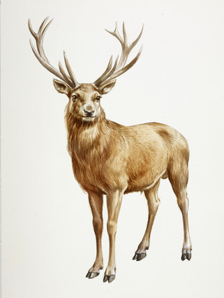 A reconstruction drawing of a Mesolithic deer