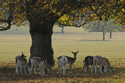 The deer in Richmond Park; 2009