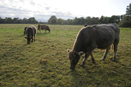 Cows grazing on Petersham Meadows; 2009