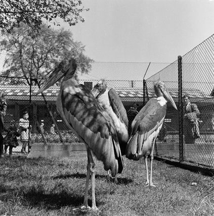The Pelicans at London Zoo; 1951