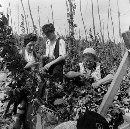 London families hop picking in Kent; 1952