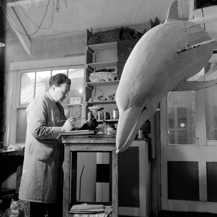 Taxidermist Edward Gerrard at work; 1951