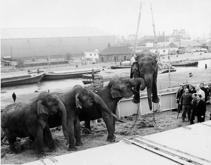 Circus elephants, South West India Docks: 1968