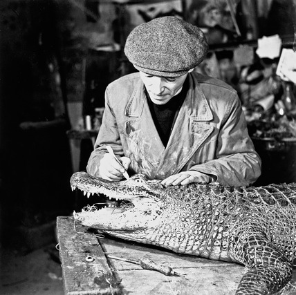 An employee of Edward Gerrard & Son's taxidermy firm works on a crocodile: 1951