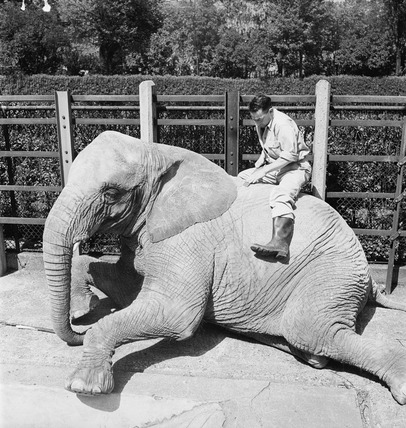 Elephant, London Zoo: 20th Century