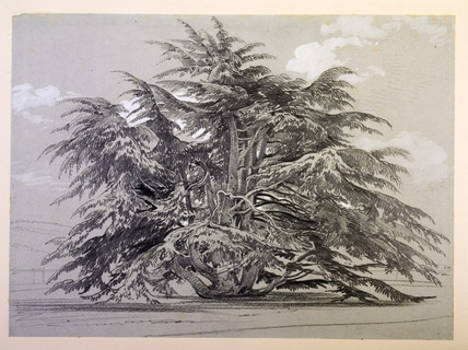An imposing cedar tree set within the grounds of Addington palace