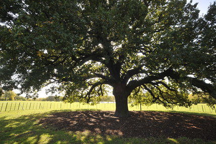 The Bexley Charter Oak; 2009