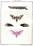 Caterpillar, chrysalis and moths, 1776.
