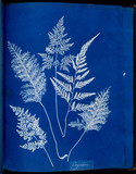 Cyanotype of Ceylonese ferns, 1853.