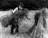A farm labourer carrying hay to add to a stook, 1900-1930.