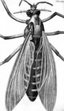 Great bellied gnat or female gnat, micrograph, 1664.