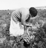 Mexican migrant woman harvesting tomatoes,