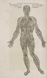 The venous system of the male human body, 1543.