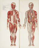 The muscles and internal organs, late 19th-early 20th century.