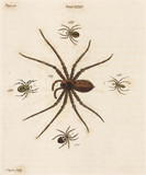 Spiders, 1736.
