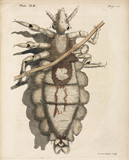 Louse clinging to a human hair, 1736.