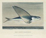 Flying fish, 1818.