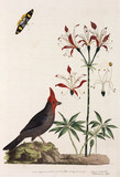 Crossbill, lily and butterfly, 1776.