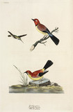 Hummingbird, chaffinch and wagtail, 1776.