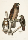 Two types of owl, 1837-1840.