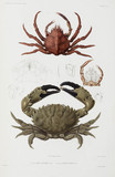 Two crabs, 1837-1840.