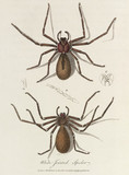 'White-Jointed Spider', 1789.
