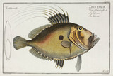'The Doree', (John Dory fish), 1785-1788.