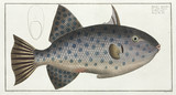 'The long File-Fish', (Spotted oceanic triggerfish), 1785-1788.