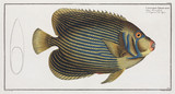Imperator Angelfish, 1785-1788.