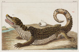 Caiman and young, Surinam, 1775-1781.