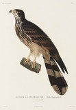 Long-tailed falcon, New Guinea, 1822-1825.