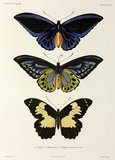 Three butterflies, 1822-1825.