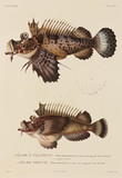 Spiny devilfish, New Ireland and Mauritius, 1822-1825.