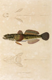 Knout goby, Black Sea, 1837.