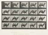 Time-lapse photographs of a camel trotting, 1872-1885.