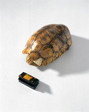 Tortoiseshell, 20th century, and snuff box, early 19th century.