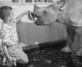 Boy feeding bananas to a baby rhino, November 1962.
