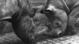 Male and female rhinos fighting, Belle Vue Zoo, Manchester, August 1966.