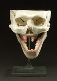 Model of front part of adult skull, 1962.