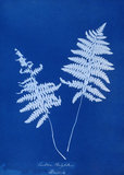 Cyanotype of Lastrea thelypteris, 1853.