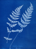 Cyanotype of Cystopteris dentata, 1853.