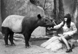 Woman feeding a tapir, Belle Vue Zoo, Manchester, April 1970.