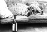 Wally the Afghan hound in a 'Doggie Exclusive Hotel', December 1980.