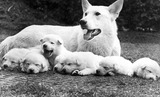 Pedigree white Alsatian with pups, June 1973.