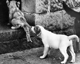 Puppy and lion cub, Belle Vue Zoo, Manchester, November 1972.