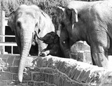 """Elephants, Chester Zoo, September 1977."""