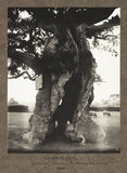 Cowper's Oak. Yardley Chase, Northamptonshire. 1906