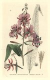 French willow, Epilobium angustifolium