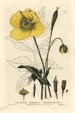 Welsh poppy, Meconopsis cambrica